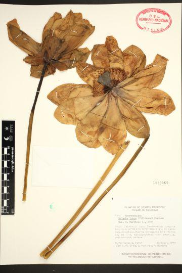 Nelumbo lutea (Willd) Pers., fotografía de Leandro Javier Ramos Ventura, Herbario Nacional de México, Instituto de Biología.