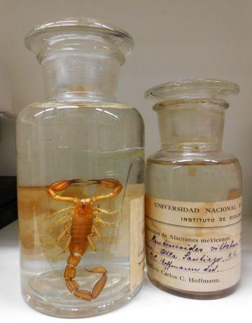 Material histórico de Carlos Hoffman, Colección Nacional de Arácnidos del Instituto de Biología de la UNAM.