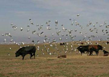 El toro de lidia, elemento clave en el equilibrio ecológico de la dehesa