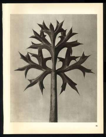 Fotografías de la serie de los años veinte 'Formas artísticas de la naturaleza', de Karl Blossfeldt.