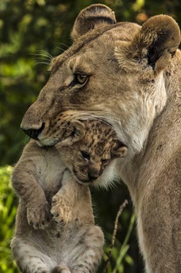 """""""Si tu gato tuviera el tamaño de un león, te comería"""""""