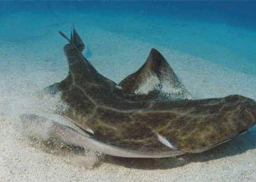 El Ayuntamiento estudia multar al Tenerife por cazar una cría de tiburón en peligro de extinción