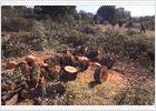 Comienza en Boadilla del Monte la tala de encinas centenarias para construir un tramo de la M-50