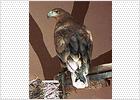 Matas bloquea un proyecto de  recuperación del  águila imperial