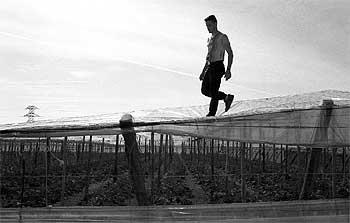 Un vecino de El Ejido camina por encima de los plásticos de un invernadero