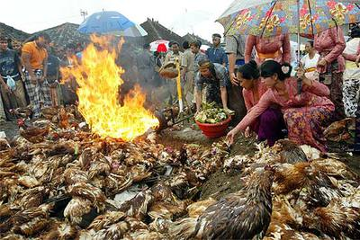 Un grupo de balineses queman pollos afectados por la gripe aviar.