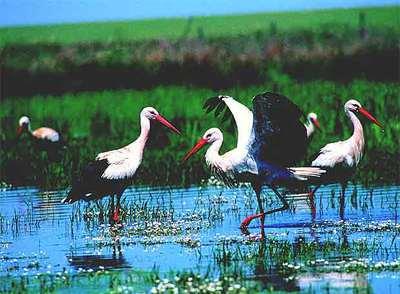 Cigüeñas blancas en Extremadura.