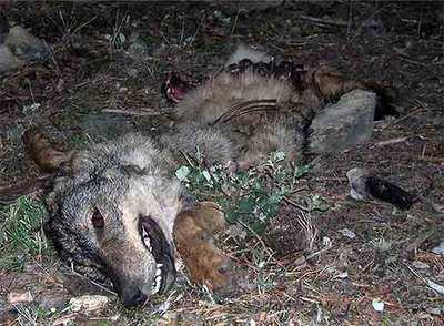 Lobo hallado muerto en el límite norte de la región, en la sierra de Guadarrama.