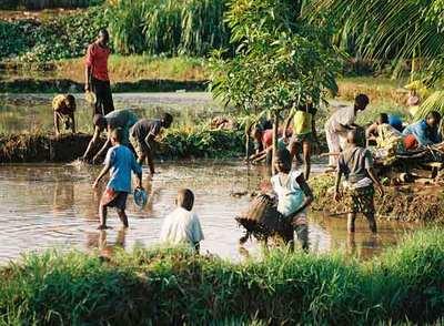 Niños procedentes de diversos países africanos reconstruyen diques de un arrozal en Costa de Marfil.