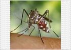 La UE advierte de que el Chikungunya puede llegar a España