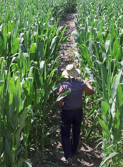 El cultivo de maíz modificado genéticamente forma parte de los ensayos del Instituto Nacional de Investigaciones Agrarias.