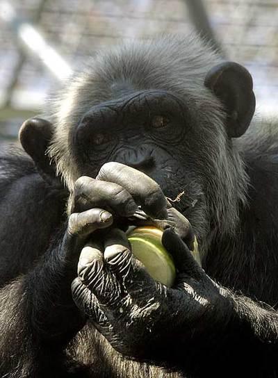 Un chimpancé sujeta un bloque helado de verdura y fruta.