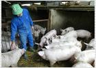 El veto de Rusia al porcino español indigna a los productores de carne
