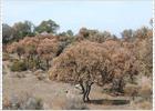 Un hongo y las largas sequías amenazan la dehesa española