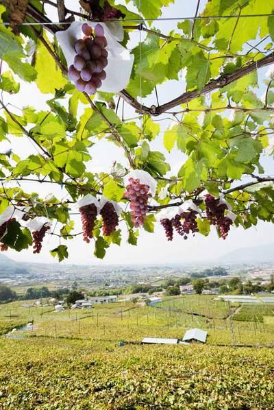 Viñedos de uva Koshu, en Japón. Botella de vino japonés que se sirve en elrestaurante catalán Koyshunka.