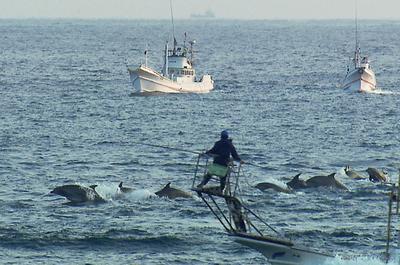 Decenas de barcos crean cada día una barrera de sonido para ahuyentar a los delfines. Así es como los conducen hasta la cala donde son seleccionados algunos y asesinados la mayoría.