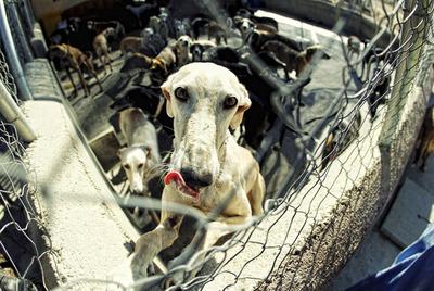Un galgo en la perrera de la asociación Las Nieves, en Navalcarnero.