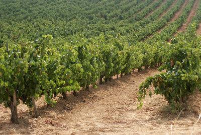 Matarromera es en la actualidad el segundo mayor propietario de viñedos de Castilla y León.