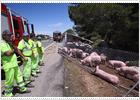 Un accidente 'suelta' 216 cerdos en la autopista