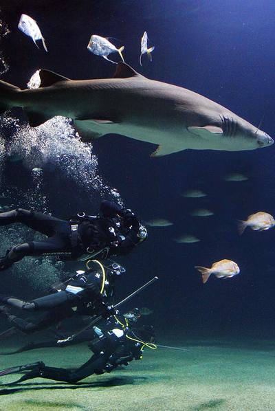 Varios buceadores, ayer en un tanque de L'Oceanogràfic junto a un tiburón toro.