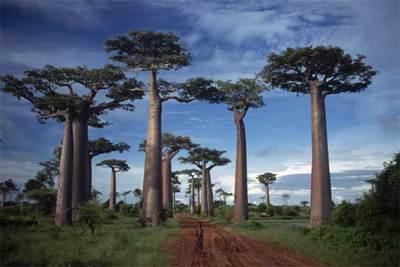 Ejemplares de Adansonia grandidieri en la avenida de los baobabs