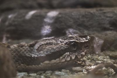 Una víbora áspid como la que mordió a Antonio Viñas, retratada en el zoo de Barcelona.