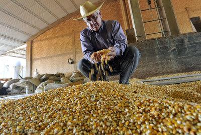 Un agricultor examina maíz transgénico.