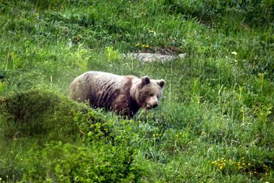 Ejemplar de un oso de dos años fotografiado en el Valle de Arán.