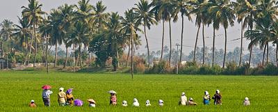 Campos de arroz en el Estado de Kerala, en el suroeste de India, zona que se promociona este año en Fitur.