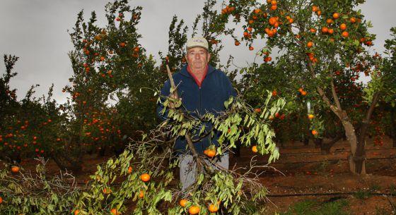 Antonio Muedra, en el campo de la variedad de mandarina registrada.