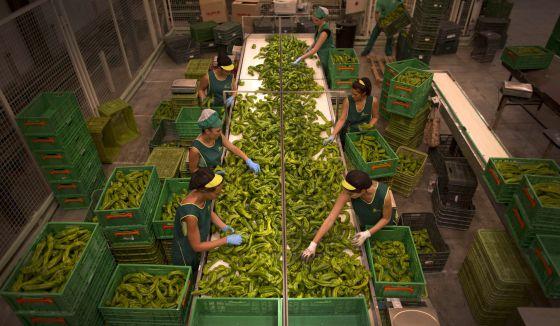 Trabajadoras colocan el género en cajas una planta de Motril (Granada).