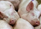 El veto ruso sume en la crisis al sector porcino europeo