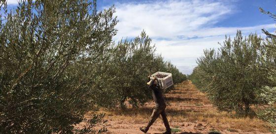 Devico comercializa aceite en Estados Unidos proceente de sus cultivos de Marruecos (en la imagen) a través de su marca Pompeian.