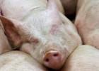 El exceso de oferta mundial tira los precios del porcino