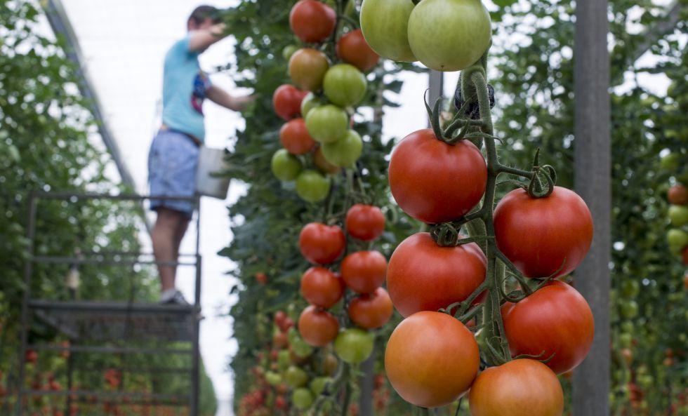 Un hombre trabaja en un invernadero de tomate en La Cañada, Almería.