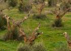 Una bacteria destruye los olivos del sur de Italia