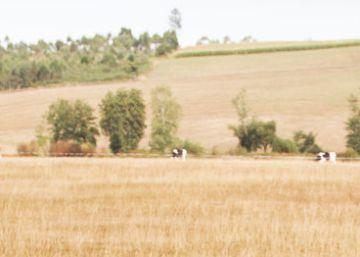 La sequía en Galicia ahoga al sector lácteo con pérdidas millonarias