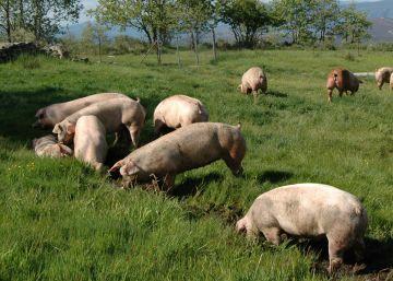 El cerdo gallego reta al buey de Kobe en Japón