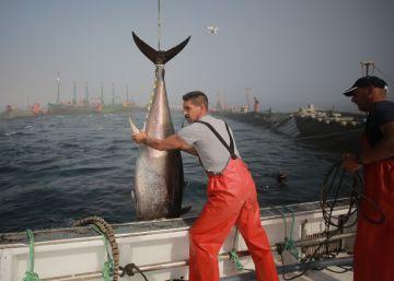 Las almadrabas lamentan que la cuota de atún solo aumente un 20%