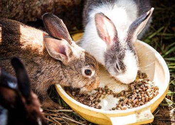 El nuevo valor del conejo