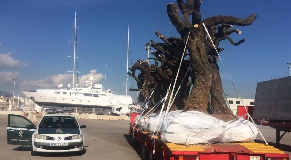 La Guàrdia Civil intervé unes oliveres a Palma