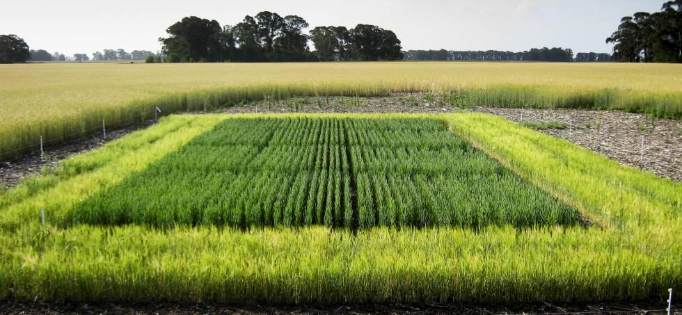 La empresa obtuvo la primera autorización mundial para producir soja modificada genéticamente que resiste la sequía.