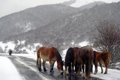 Varios caballos beben agua en un charco de una carretera del puerto leonés de las Señales donde el temporal de nieve y frío dificulta la circulación.