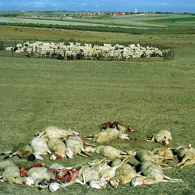 This wolf attack in El Pego (Castilla y León) left 20 sheep dead and nine wounded.
