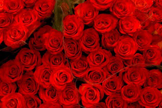 Rosas cultivadas en los invernaderos de Kenia.