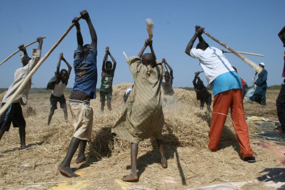 Niños trabajando en los arrozales, separando los granos de la paja.
