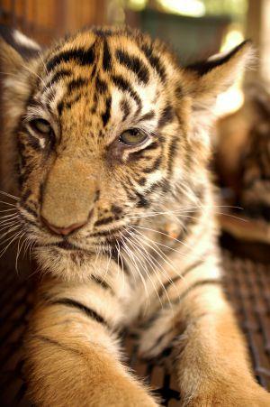 Objetivo: salvar al tigre
