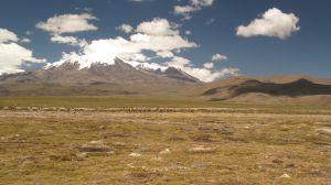 Vicuñas en la cuenca de Pucunchu.