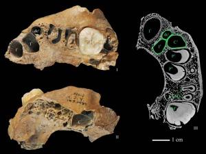 Maxilar humano hallado en Xujiayao, de unos 90.000 años
