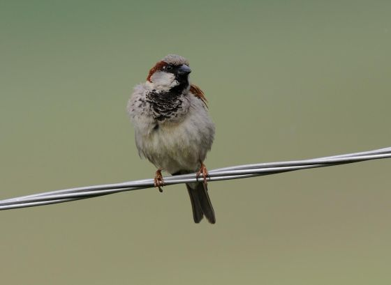 La población de gorrión común se ha reducido en un 50%. T. Belka Birdphoto.eu